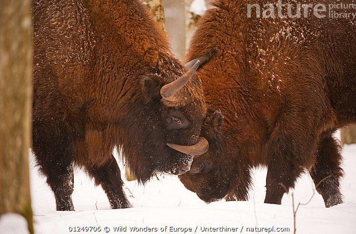 Two European bison (Bison bonasus) fighting, Bialowieza NP, Poland, February 2009  ,  ARTIODACTYLA,BEHAVIOUR,BOVIDS,BUFFALOS,EASTERN EUROPE,ENDANGERED,EUROPE,FIGHTING,MAMMALS,NP,POLAND,RESERVE,Stefano Unterthiner,VERTEBRATES,WOODLANDS,WWE,Aggression,National Park,Cattle,Concepts  ,  Wild Wonders of Europe / Unterthiner
