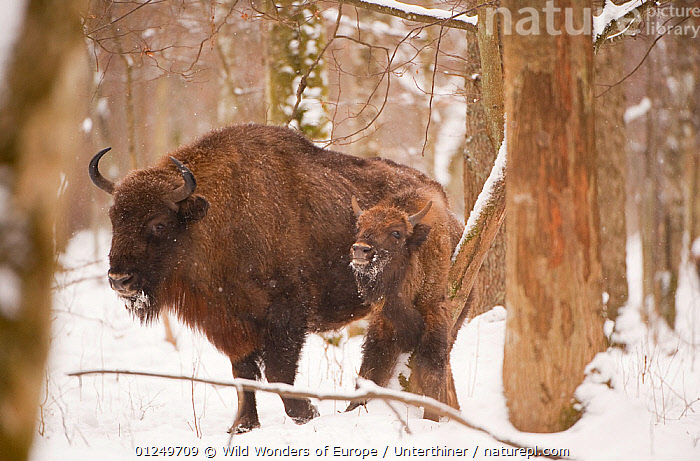European bison (Bison bonasus) with young, Bialowieza NP, Poland, February 2009  ,  ARTIODACTYLA,BOVIDS,BUFFALOS,EASTERN EUROPE,ENDANGERED,EUROPE,JUVENILE,MAMMALS,NP,POLAND,RESERVE,SNOW,Stefano Unterthiner,TREES,VERTEBRATES,WOODLANDS,WWE,National Park,PLANTS,Cattle  ,  Wild Wonders of Europe / Unterthiner