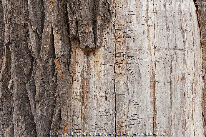 Close up of tree trunk with fallen bark showing insect galleries, Bialowieza NP, Poland, February 2009  ,  BARK,BEETLES,CLOSE UPS,EASTERN EUROPE,EUROPE,INSECTS,NP,POLAND,RESERVE,STEFANO UNTERTHINER,TREES,TRUNKS,WOODLANDS,WWE,Plants,Invertebrates,National Park  ,  Wild Wonders of Europe / Unterthiner