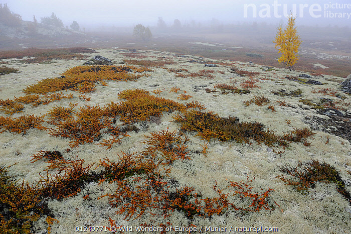 Tundra with Reindeer lichen / moss and a few small trees in mist, Forollhogna National Park, Norway, September 2008, EUROPE,LANDSCAPES,MIST,NORWAY,NP,PLANTS,RESERVE,SCANDINAVIA,TREES,TUNDRA,vincent munier,WWE, Scandinavia,National Park, Wild Wonders of Europe / Munier