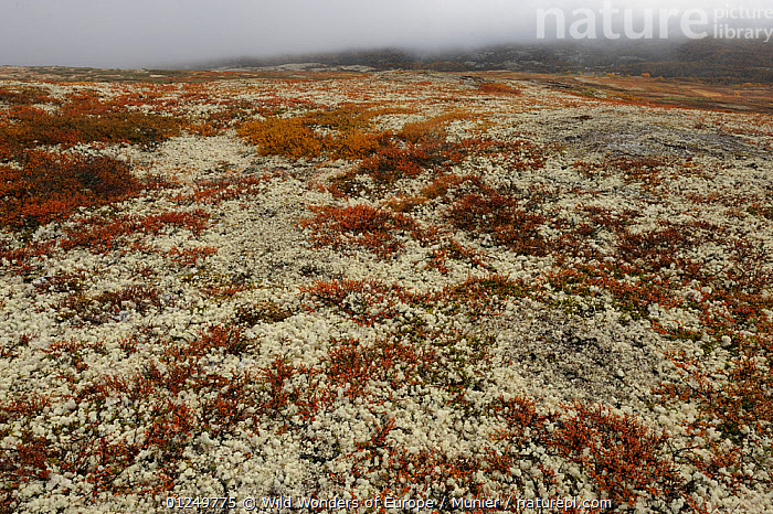 Tundra with Reindeer lichen / moss growing in the Forollhogna National Park, Norway, September 2008  ,  EUROPE,LANDSCAPES,NORWAY,NP,RESERVE,SCANDINAVIA,TUNDRA,vincent munier,WWE, Scandinavia,National Park  ,  Wild Wonders of Europe / Munier