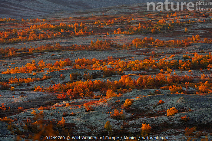 Landscape with autumnal trees, Forollhogna National Park, Norway, September 2008  ,  EUROPE,LANDSCAPES,NORWAY,NP,ORANGE,RESERVE,SCANDINAVIA,TREES,TUNDRA,vincent munier,WWE, Scandinavia,National Park,PLANTS  ,  Wild Wonders of Europe / Munier