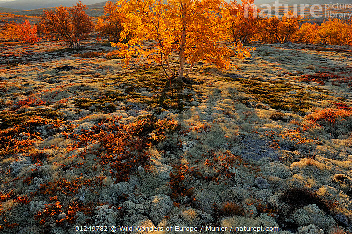 Autumn trees and Reindeer lichen / moss in Forollhogna National Park, Norway, September 2008, AUTUMN,EUROPE,LANDSCAPES,NORWAY,NP,ORANGE,RESERVE,SCANDINAVIA,TREES,TUNDRA,vincent munier,WWE, Scandinavia,National Park,PLANTS, Wild Wonders of Europe / Munier