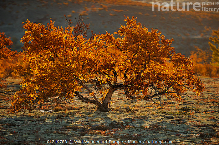 Small tree in autumn, Forollhogna National Park, Norway, September 2008  ,  AUTUMN,EUROPE,LANDSCAPES,NORWAY,NP,ORANGE,RESERVE,SCANDINAVIA,TREES,TUNDRA,vincent munier,WWE, Scandinavia,National Park,PLANTS  ,  Wild Wonders of Europe / Munier