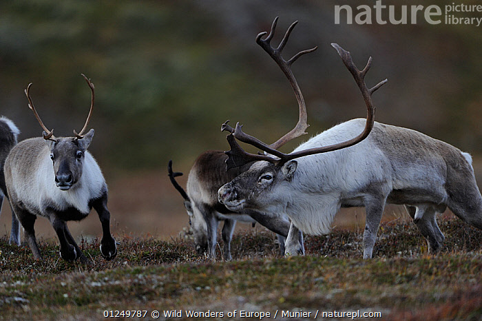 Reindeer (Rangifer tarandus) Forollhogna National Park, Norway, September 2008  ,  ARTIODACTYLA,CERVIDS,DEER,EUROPE,MAMMALS,NORWAY,NP,RESERVE,SCANDINAVIA,VERTEBRATES,vincent munier,WWE, Scandinavia,National Park  ,  Wild Wonders of Europe / Munier