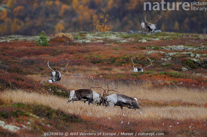 Reindeer (Rangifer tarandus) grazing, Forollhogna National Park, Norway, September 2008, ARTIODACTYLA,CERVIDS,DEER,EUROPE,FEEDING,GROUPS,MAMMALS,NORWAY,NP,RESERVE,SCANDINAVIA,TUNDRA,VERTEBRATES,vincent munier,WWE, Scandinavia,National Park, Wild Wonders of Europe / Munier