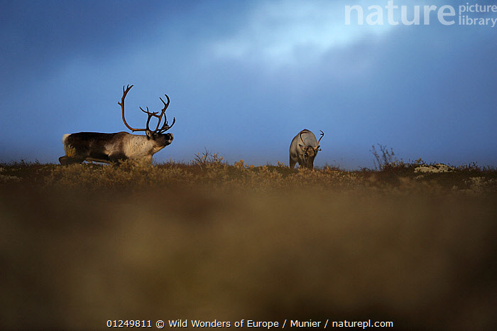 Male Reindeer (Rangifer tarandus) calling, female nearby, Forollhogna National Park, Norway, September 2008  ,  ARTIODACTYLA,BEHAVIOUR,CERVIDS,CLOUDS,dark,DEER,EUROPE,MALE FEMALE PAIR,MAMMALS,NORWAY,NP,RESERVE,SCANDINAVIA,VERTEBRATES,vincent munier,VOCALISATION,WWE,Weather, Scandinavia,National Park  ,  Wild Wonders of Europe / Munier