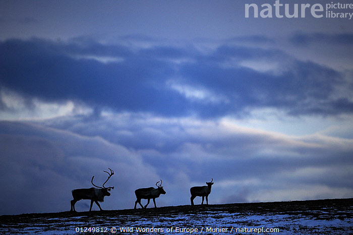 Three Reindeer (Rangifer tarandus) silhouetted against dark cloudy sky, Forollhogna National Park, Norway, September 2008  ,  ARTIODACTYLA,BLUE,CERVIDS,CLOUDS,DEER,EUROPE,MAMMALS,NORWAY,NP,RESERVE,SCANDINAVIA,SILHOUETTES,VERTEBRATES,vincent munier,WWE,Weather, Scandinavia,National Park  ,  Wild Wonders of Europe / Munier