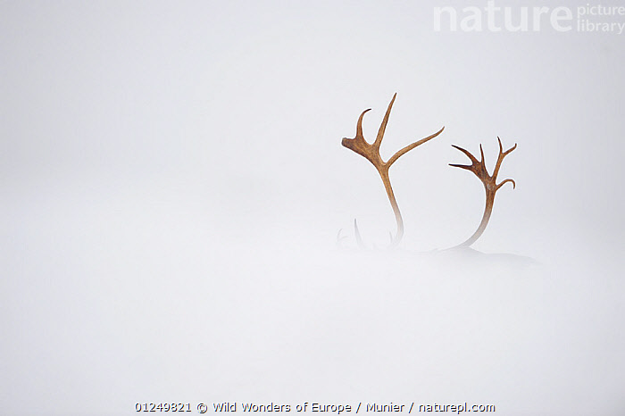 Reindeer (Rangifer tarandus) antlers, body hidden by snow, Forollhogna National Park, Norway, September 2008  ,  ANTLERS,ARTIODACTYLA,CERVIDS,DEER,EUROPE,MAMMALS,NORWAY,NP,RESERVE,SCANDINAVIA,SNOW,VERTEBRATES,vincent munier,WWE, Scandinavia,National Park  ,  Wild Wonders of Europe / Munier
