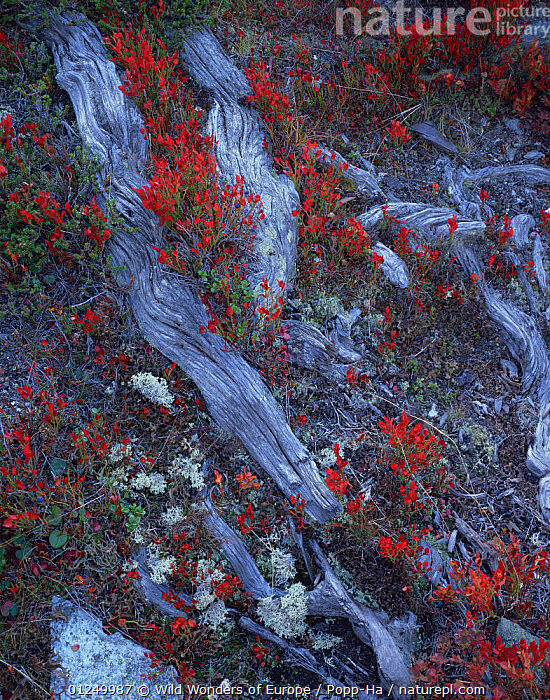 Autumn vegetation growing amongst tree roots, near Gr�nsee / Green Lake, Gornergrat, Switzerland, September 2008  ,  ALPS,EUROPE,FLOWERS,LICHENS,RED,ROOTS,SWITZERLAND,VERENA POPP HACKNER,VERTICAL,WWE,Plants  ,  Wild Wonders of Europe / Popp-Ha