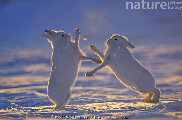 Two Arctic hares (Lepus arcticus) fighting, Northeast Greenland National Park, Greenland. Veolia Environnement Wildlife Photographer of the Year 2009: Runner-up in the 'Mammal Behaviour' category  ,  AGGRESSION,BEHAVIOUR,CAMOUFLAGE,COMPETING,COMPETITION,DUSK,EUROPE,HARES,ICE,LAGOMORPHS,MAMMALS,PROFILE,SNOW,SUNSET,VERTEBRATES,WINTER,Concepts Awards,Concepts award-winning, competition,Concepts  ,  Morten Hilmer