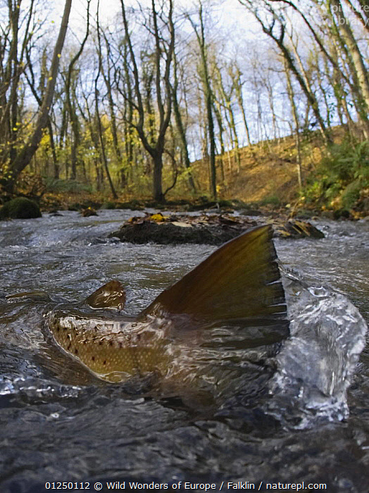 Brown trout (Salmo trutta) in shallow water migrating upstream, Bornholm, Denmark, November 2008  ,  EUROPE,FISH,FRESHWATER,MARTIN FALKLIND,OSTEICHTHYES,RIVERS,RIVER TROUT,SCANDINAVIA,TAILS,TEMPERATE,TROUT,VERTEBRATES,VERTICAL,WWE, Scandinavia, Scandinavia  ,  Wild Wonders of Europe / Falklin