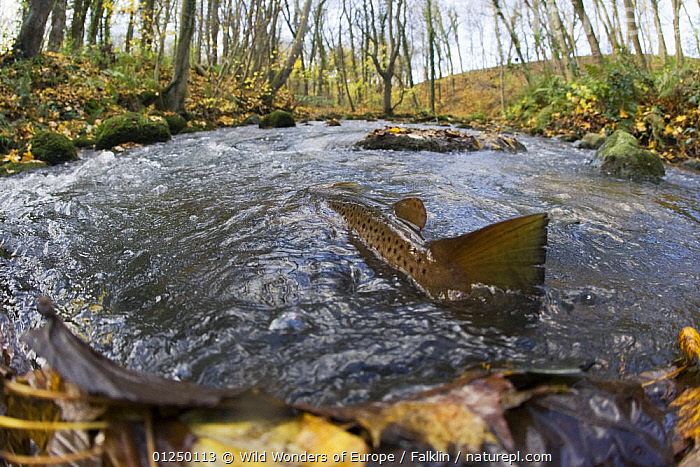 Brown trout (Salmo trutta) in shallow water migrating upstream, Bornholm, Denmark, November 2008, EUROPE,FINS,FISH,FRESHWATER,MARTIN FALKLIND,OSTEICHTHYES,RIVERS,RIVER TROUT,SCANDINAVIA,TAILS,TEMPERATE,TROUT,VERTEBRATES,WWE, Scandinavia, Scandinavia, Wild Wonders of Europe / Falklin
