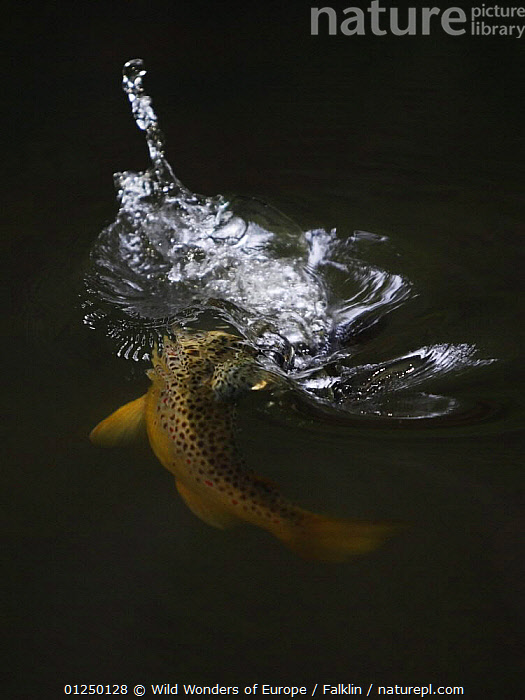 Brown trout (Salmo trutta) hunting Mayfly (Ephemera Danica) Dala river, G�tene, V�stra G�taland, Sweden, June 2009  ,  BEHAVIOUR,EUROPE,FEEDING,FISH,FRESHWATER,HUNTING,MARTIN FALKLIND,OSTEICHTHYES,PREDATION,RIVERS,RIVER TROUT,SCANDINAVIA,SWEDEN,TEMPERATE,TROUT,VERTEBRATES,VERTICAL,WATER,WWE, Scandinavia, Scandinavia, Scandinavia  ,  Wild Wonders of Europe / Falklin