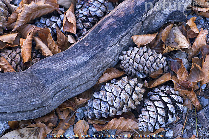 Pine cones, wood and Beech leaves on ground, Pollino National Park, Basilicata, Italy, November 2008  ,  ARTY SHOTS,CLAUDIA M�LLER,CONES,DICOTYLEDONS,EUROPE,FAGACEAE,ITALY,LEAVES,NP,PINES,PLANTS,RESERVE,SEEDS,WOOD,WWE,National Park  ,  Wild Wonders of Europe / Müller
