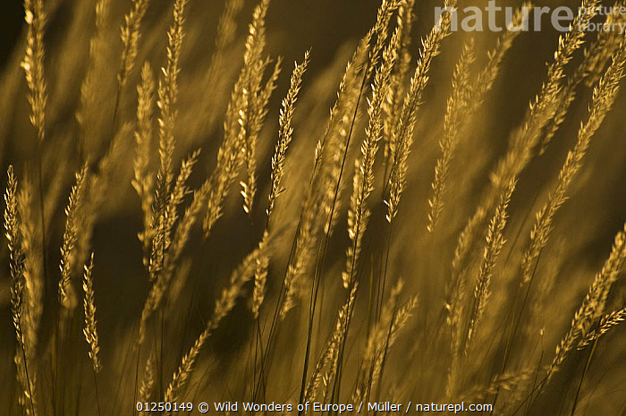 Grass with seeds, in early morning light, Pollino National Park, Basilicata, Italy, November 2008  ,  CLAUDIA M�LLER,EUROPE,FLOWERS,GRAMINEAE,GRASSES,ITALY,NP,ORANGE,RESERVE,SEEDS,WWE,National Park  ,  Wild Wonders of Europe / Müller