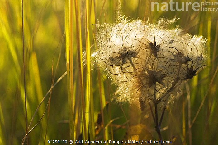 Clematis seed heads, Pollino National Park, Basilicata, Italy, November 2008  ,  CLAUDIA M�LLER,CLIMBERS,DICOTYLEDONS,EUROPE,FLUFFY,ITALY,NP,PLANTS,RANUNCULACEAE,RESERVE,SEEDS,WWE,National Park  ,  Wild Wonders of Europe / Müller