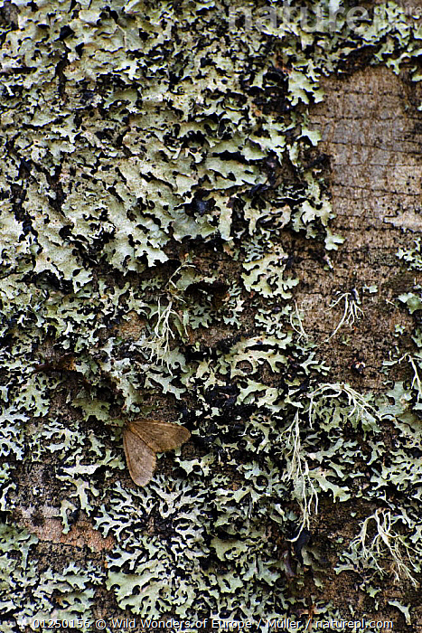 Moth and lichen on tree trunk, Pollino National Park, Basilicata, Italy, November 2008  ,  ARTHROPODS, CLADONIACEAE, Claudia-M�ller, EUROPE, FUNGI, INSECTS, INVERTEBRATES, ITALY, LEPIDOPTERA, LICHEN, MOTHS, NP, RESERVE, TREES, TRUNKS, VERTICAL, WWE,National Park,PLANTS  ,  Wild Wonders of Europe / Müller