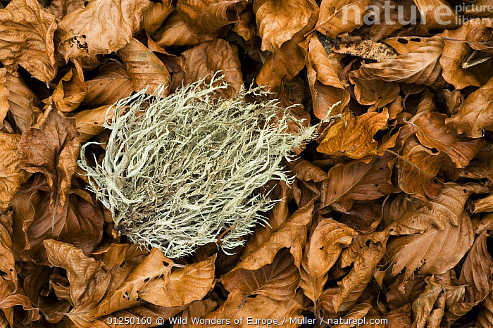 Fallen Beech leaves and Lichens on the forest floor, Pollino National Park, Basilicata, Italy, November 2008  ,  BROWN, CLADONIACEAE, Claudia-M�ller, DICOTYLEDONS, EUROPE, FAGACEAE, FUNGI, ITALY, LEAVES, LICHENS, NP, RESERVE, WWE,Plants,National Park  ,  Wild Wonders of Europe / Müller
