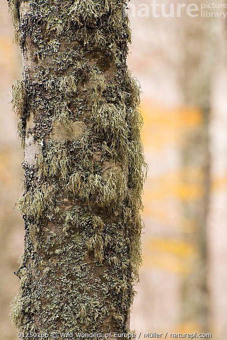 Lichen growing on European beech (Fagus sylvatica) trunk, Pollino National Park, Basilicata, Italy, November 2008  ,  Claudia-M�ller, DICOTYLEDONS, EUROPE, FAGACEAE, FUNGI, ITALY, LICHENS, NP, RESERVE, TREES, TRUNKS, VERTICAL, WWE,Plants,National Park  ,  Wild Wonders of Europe / Müller