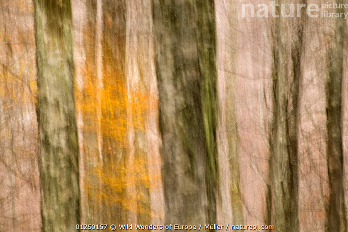Abstract European beech (Fagus sylvatica) tree trunks, Pollino National Park, Basilicata, Italy, November 2008  ,  ABSTRACT,ARTY SHOTS,CLAUDIA M�LLER,DICOTYLEDONS,EUROPE,FAGACEAE,ITALY,LANDSCAPES,NP,PLANTS,RESERVE,TREES,TRUNKS,WWE,National Park  ,  Wild Wonders of Europe / Müller