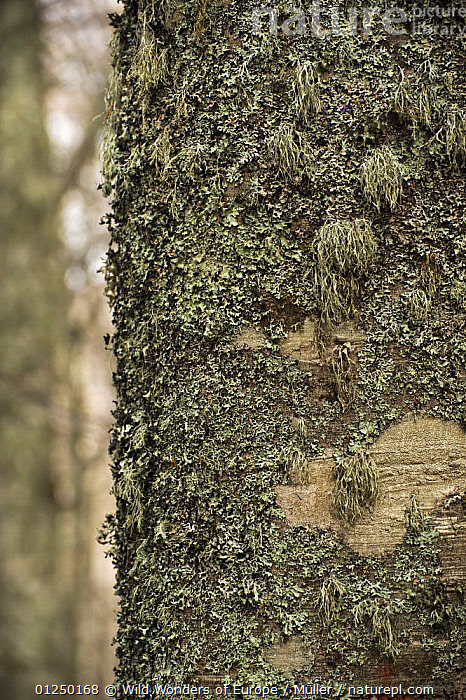 Lichen growing on European beech (Fagus sylvatica) trunk, Pollino National Park, Basilicata, Italy, November 2008  ,  BARK, Claudia-M�ller, CLOSE-UPS, DICOTYLEDONS, EUROPE, FAGACEAE, FUNGI, ITALY, LICHENS, NP, RESERVE, TREES, TRUNKS, VERTICAL, WWE,Plants,National Park  ,  Wild Wonders of Europe / Müller