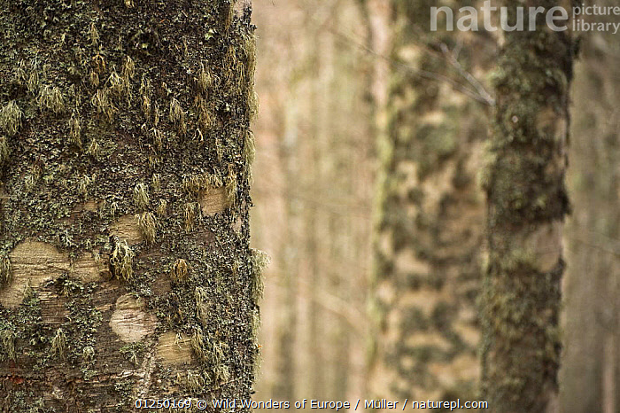 Lichen growing on European beech (Fagus sylvatica) trunk, Pollino National Park, Basilicata, Italy, November 2008  ,  BARK, Claudia-M�ller, DICOTYLEDONS, EUROPE, FAGACEAE, FUNGI, ITALY, LICHENS, NP, RESERVE, TREES, TRUNKS, WWE,Plants,National Park  ,  Wild Wonders of Europe / Müller