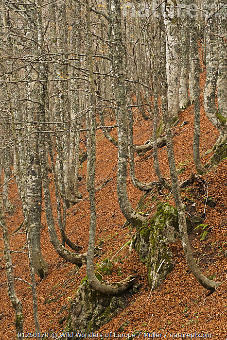 European beech (Fagus sylvatica) forest, with fallen leaves on ground, Pollino National Park, Basilicata, Italy, November 2008  ,  CLAUDIA M�LLER,DICOTYLEDONS,EUROPE,FAGACEAE,FORESTS,ITALY,LANDSCAPES,LEAVES,LICHENS,NP,PLANTS,RESERVE,TRUNKS,VERTICAL,WWE,National Park  ,  Wild Wonders of Europe / Müller