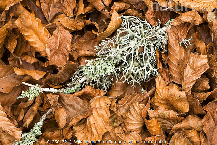 Fallen European beech leaves (Fagus sylvatica) and a twig with Lichen growing on it on the ground, Pollino National Park, Basilicata, Italy, November 2008  ,  ARTY-SHOTS, BROWN, Claudia-M�ller, DICOTYLEDONS, EUROPE, FAGACEAE, FUNGI, ITALY, LEAVES, LICHENS, NP, RESERVE, Twigs, WWE,Plants,National Park  ,  Wild Wonders of Europe / Müller