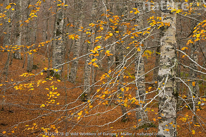 European beech (Fagus sylvatica) forest in autumn, Pollino National Park, Basilicata, Italy, November 2008  ,  AUTUMN,CLAUDIA M�LLER,DICOTYLEDONS,EUROPE,FAGACEAE,FORESTS,ITALY,LEAVES,NP,ORANGE,PLANTS,RESERVE,TREES,TRUNKS,WWE,National Park  ,  Wild Wonders of Europe / Müller