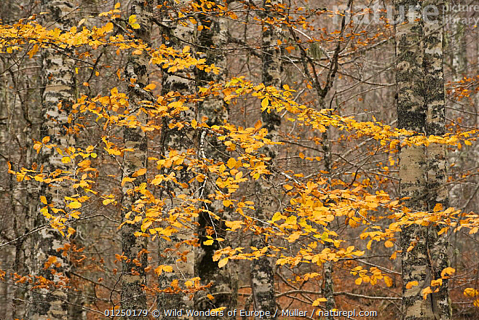 European beech (Fagus sylvatica) trees in autumn, Pollino National Park, Basilicata, Italy, November 2008  ,  AUTUMN,CLAUDIA M�LLER,DICOTYLEDONS,EUROPE,FAGACEAE,FORESTS,ITALY,LEAVES,NP,ORANGE,PLANTS,RESERVE,TREES,TRUNKS,WWE,National Park  ,  Wild Wonders of Europe / Müller