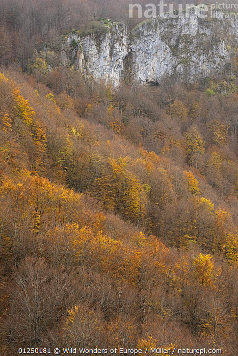 European beech (Fagus sylvatica) forest in autumn, Basilicata, Pollino National Park, Italy, November 2008  ,  AUTUMN,CLAUDIA M�LLER,DICOTYLEDONS,EUROPE,FAGACEAE,FORESTS,ITALY,LANDSCAPES,NP,ORANGE,PLANTS,RESERVE,ROCKS,VERTICAL,WWE,National Park  ,  Wild Wonders of Europe / Müller