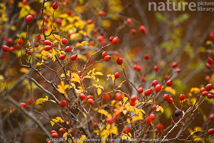 Dog rose (Rosa canina) hips, Pollino National Park, Basilicata, Italy, November 2008  ,  CLAUDIA M�LLER,DICOTYLEDONS,EUROPE,FRUIT,ITALY,NP,PLANTS,RED,RESERVE,ROSACEAE,ROSEHIPS,WWE,National Park  ,  Wild Wonders of Europe / Müller