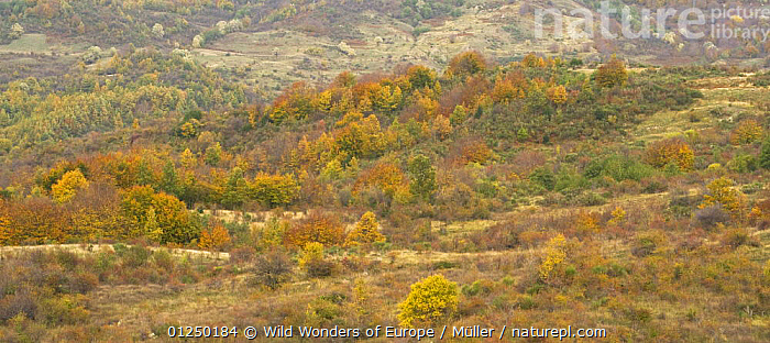 Autumn landscape, Pollino National Park, Basilicata, Italy, November 2008  ,  CLAUDIA M�LLER,EUROPE,ITALY,LANDSCAPES,NP,PANORAMIC,RESERVE,TREES,WWE,National Park,PLANTS  ,  Wild Wonders of Europe / Müller