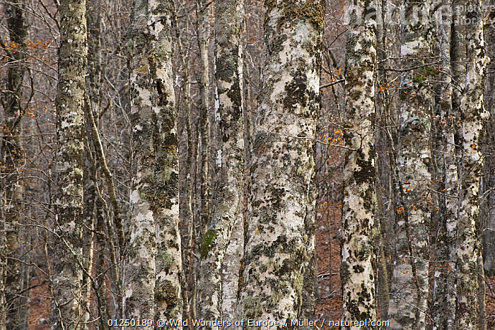 European beech (Fagus sylvatica) trunks in forest covered in lichens, Pollino National Park, Basilicata, Italy, November 2008  ,  CLAUDIA M�LLER,DICOTYLEDONS,EUROPE,FAGACEAE,FORESTS,ITALY,NP,PLANTS,RESERVE,TREES,TRUNKS,WWE,National Park  ,  Wild Wonders of Europe / Müller