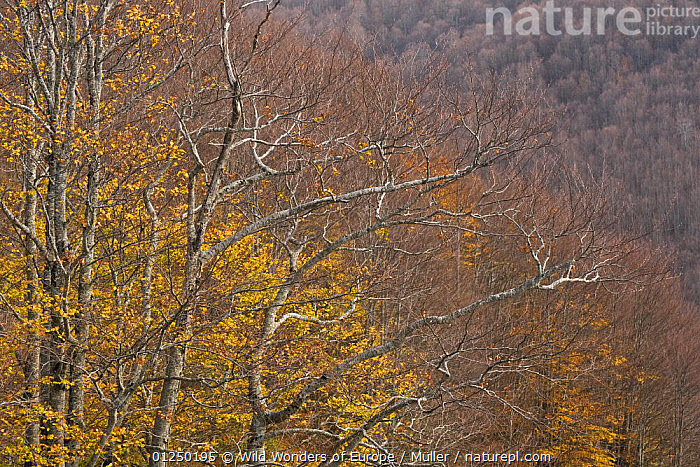 European beech (Fagus sylvatica) forest in autumn, Pollino National Park, Basilicata, Italy, November 2008  ,  CLAUDIA M�LLER,DICOTYLEDONS,EUROPE,FAGACEAE,FORESTS,ITALY,LANDSCAPES,NP,PLANTS,RESERVE,TREES,WWE,National Park  ,  Wild Wonders of Europe / Müller