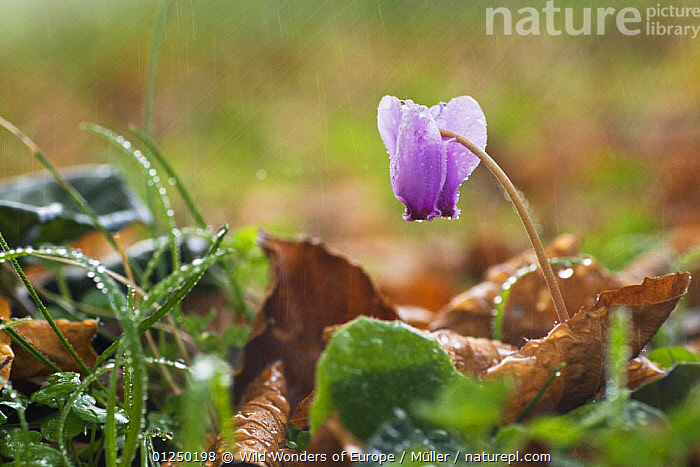 Flowering Cyclamen in rain, Pollino National Park, Basilicata, Italy, November 2008  ,  CLAUDIA M�LLER,DICOTYLEDONS,EUROPE,FLOWERS,ITALY,NP,PLANTS,PRIMULACEAE,RAINING,RESERVE,WWE,National Park,Weather  ,  Wild Wonders of Europe / Müller
