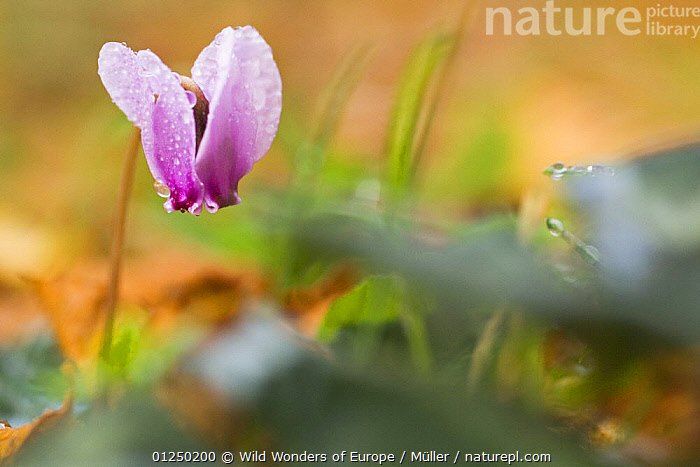 Cyclamen in flower covered in water droplets, Pollino National Park, Basilicata, Italy, November 2008  ,  CLAUDIA M�LLER,DICOTYLEDONS,DROPLETS,EUROPE,FLOWERS,ITALY,NP,PINK,PLANTS,PRIMULACEAE,RESERVE,WATER,WET,WWE,National Park  ,  Wild Wonders of Europe / Müller
