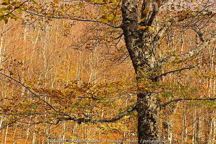 Beech forest Pollino National Park, Basilicata, Italy, November 2008  ,  AUTUMN,CLAUDIA M�LLER,DICOTYLEDONS,EUROPE,FAGACEAE,FORESTS,ITALY,LANDSCAPES,NP,ORANGE,PLANTS,RESERVE,TREES,WWE,National Park  ,  Wild Wonders of Europe / Müller