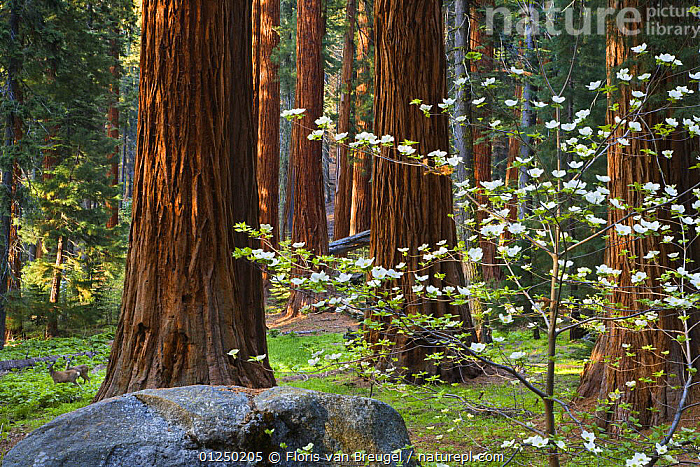 Dogwood (Cornus nuttallii) in bloom amongst Giant Sequoia trees (Sequoiadendron giganteum) and two Mule deer (Odocoileus hemionus), Sequoia and King's Canyon National Parks, USA. June. Veolia Environnement Wildlife Photographer of the Year 2009, Runner up in the 'Animals in their Environment' category  ,  ARTIODACTYLA,CERVIDS,CONIFERS,DEER,DICOTYLEDONS,FLOWERS,FORESTS,GYMNOSPERMS,HABITAT,MAMMALS,MIXED SPECIES,NORTH AMERICA,NP,NYSSACEAE,PLANTS,REDWOOD,SPRING,TAXODIACEAE,TEMPERATE,TREES,USA,VERTEBRATES,National Park Awards,National Park award-winning, competition,National Park  ,  Floris van Breugel