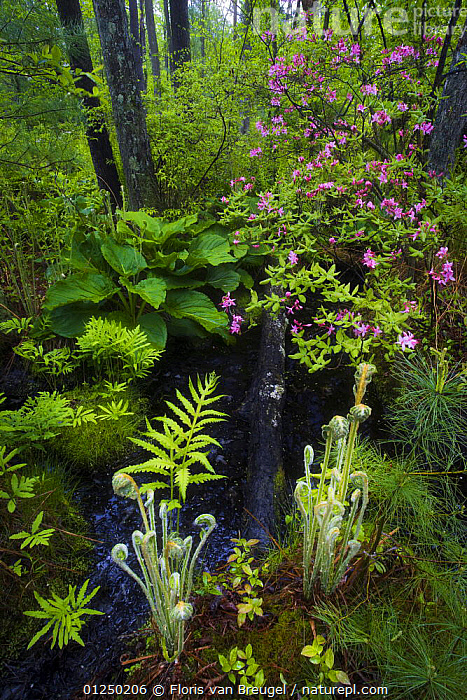 Ferns, mosses and blooming azaleas in marshes, Sapsucker Woods, Ithaca, New York, USA. May. Veolia Environnement Wildlife Photographer of the Year 2009 - Highly Commended in the 'In Praise of Plants' category, BIODIVERSITY,FLOWERS,FORESTS,LANDSCAPES,MIXED SPECIES,NORTH AMERICA,PLANTS,SPRING,SWAMPS,VERTICAL,WATER,WETLANDS Awards,Wetlands award-winning, competition,Wetlands, Floris van Breugel