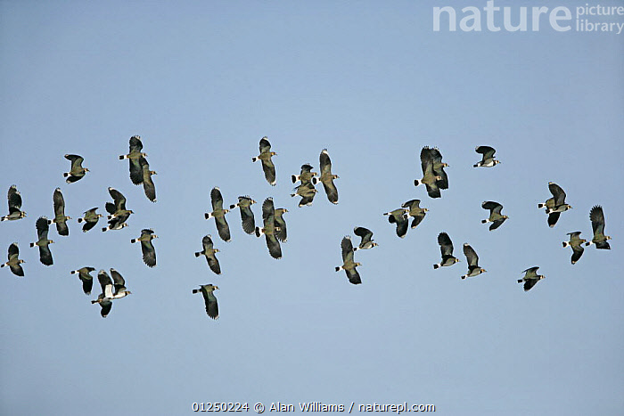 Lapwing (Vanellus vanellus) flock in flight, Welney WWR, Norfolk, UK, November  ,  BIRDS,COASTS,EUROPE,FLOCKS,FLYING,GROUPS,LOW ANGLE SHOT,UK,VERTEBRATES,WADERS, United Kingdom,Plovers  ,  Alan Williams