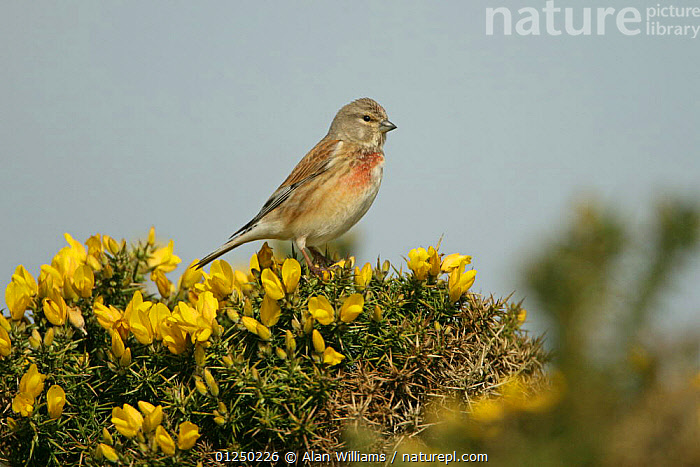 Linnet (Carduelis cannabina) male perched on Gorse, Suffolk, UK, April  ,  BIRDS,EUROPE,FINCHES,FLOWERS,MALES,UK,VERTEBRATES,YELLOW, United Kingdom  ,  Alan Williams