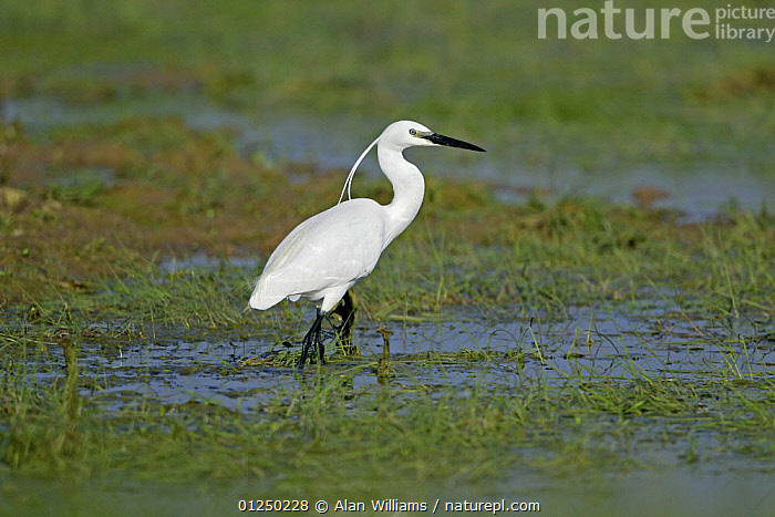 Little egret (Egretta garzetta) foraging on Elmley Marshes, Kent, UK, April  ,  BIRDS,EGRETS,EUROPE,HERONS,MARSHES,UK,VERTEBRATES,WATER,WETLANDS, United Kingdom  ,  Alan Williams