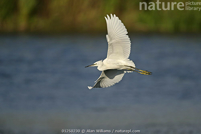 Little egret (Egretta garzetta) in flight over water, Essex, UK, August  ,  BIRDS,EGRETS,EUROPE,FLYING,HERONS,UK,VERTEBRATES,WATER, United Kingdom  ,  Alan Williams