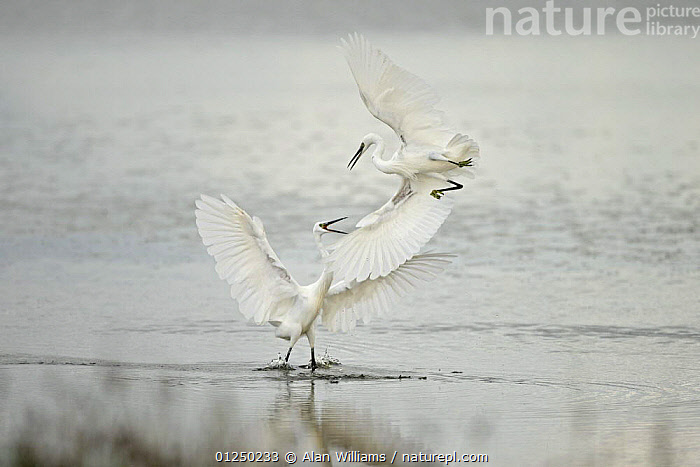 Two Little egrets (Egretta garzetta) fighting over feeding territory, Oare Marshes, Kent, UK, October  ,  AGGRESSION,BIRDS,COASTS,EGRETS,EUROPE,FIGHTING,HERONS,MARSHES,TERRITORIAL BEHAVIOUR,UK,VERTEBRATES,WATER,WETLANDS,Concepts, United Kingdom  ,  Alan Williams