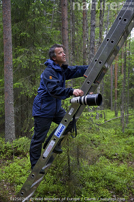 Photographer Peter Cairns climbing ladder to photograph Great grey owl (Strix nebulosa) in boreal forest, Northern Oulu, Finland, June 2008, BOREAL,EUROPE,FINLAND,FORESTS,PEOPLE,PETER CAIRNS,SCANDINAVIA,TREES,VERTICAL,WOODLANDS,WWE, Europe,PLANTS, Europe, Wild Wonders of Europe / Cairns