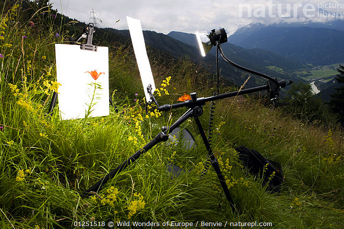Orange / Fire lily (Lilium bulbiferum) with set up for outdoor studio photography, Fliess, Naturpark Kaunergrat, Tirol, Austria, July 2008  ,  ALPINE,alps,AUSTRIA,EUROPE,FLOWERS,LANDSCAPES,LILIACEAE,MEADOWLAND,MONOCOTYLEDONS,niall benvie,PHOTOGRAPHY,PLANTS,RESERVE,WWE,Grassland  ,  Wild Wonders of Europe / Benvie