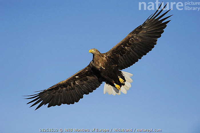 White tailed sea eagle (Haliaeetus albicilla) in flight, Flatanger, Nord Tr�ndelag, Norway, August 2008  ,  BIRDS,BIRDS OF PREY,CUTOUT,EAGLES,EUROPE,FLYING,LOW ANGLE SHOT,NORWAY,SCANDINAVIA,Staffan Widstrand,VERTEBRATES,WINGS,WWE, Scandinavia,Raptor  ,  Wild Wonders of Europe / Widstrand