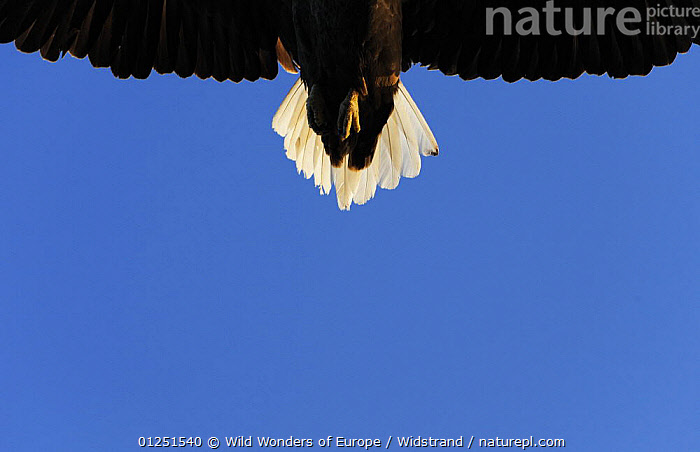 Tail of a flying White tailed sea eagle (Haliaeetus albicilla) Flatanger, Nord Tr�ndelag, Norway, August 2008  ,  BIRDS,BIRDS OF PREY,Detail,EAGLES,EUROPE,FEATHERS,FLYING,LOW ANGLE SHOT,NORWAY,SCANDINAVIA,Staffan Widstrand,TAILS,VERTEBRATES,WWE, Scandinavia,Raptor  ,  Wild Wonders of Europe / Widstrand